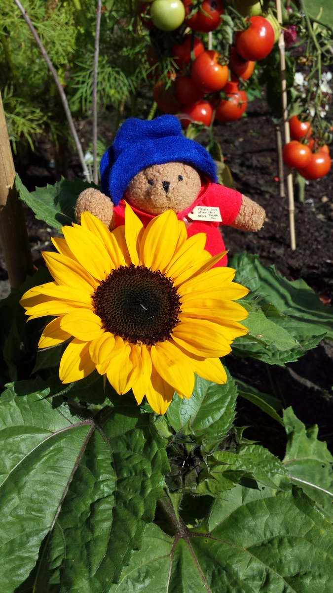 RT @MrPB_Esq Mr Paddington found this beautiful sunflower when he was doing the gardening! Mr PB found Little Miss Sunshine at the Loseley Garden Show!