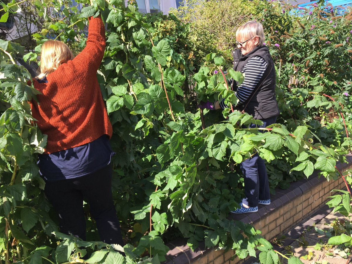 RT @DoddGarden Untangling our raspberry canes. #newgrowth #communitygarden #raspberries #battersea