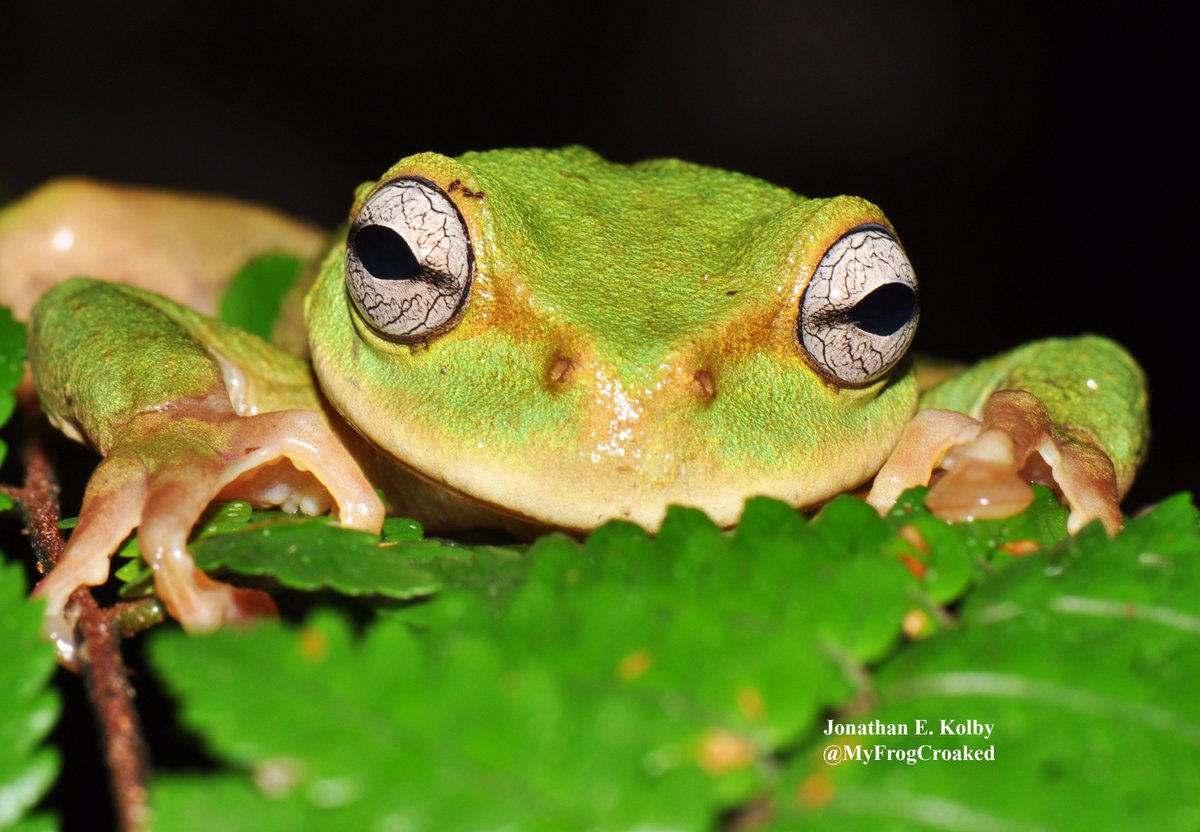 Peek-a-boo! from this Exquisite Spike-thumb #Frog, 1 of 3 #HARCC rescue species. Learn more about @HondurasARCC at:  https://www. youtube.com/channel/UCf1gP 3ca2Ieybcr8azqQOwQ &nbsp; … <br>http://pic.twitter.com/AqtVkzjbWj