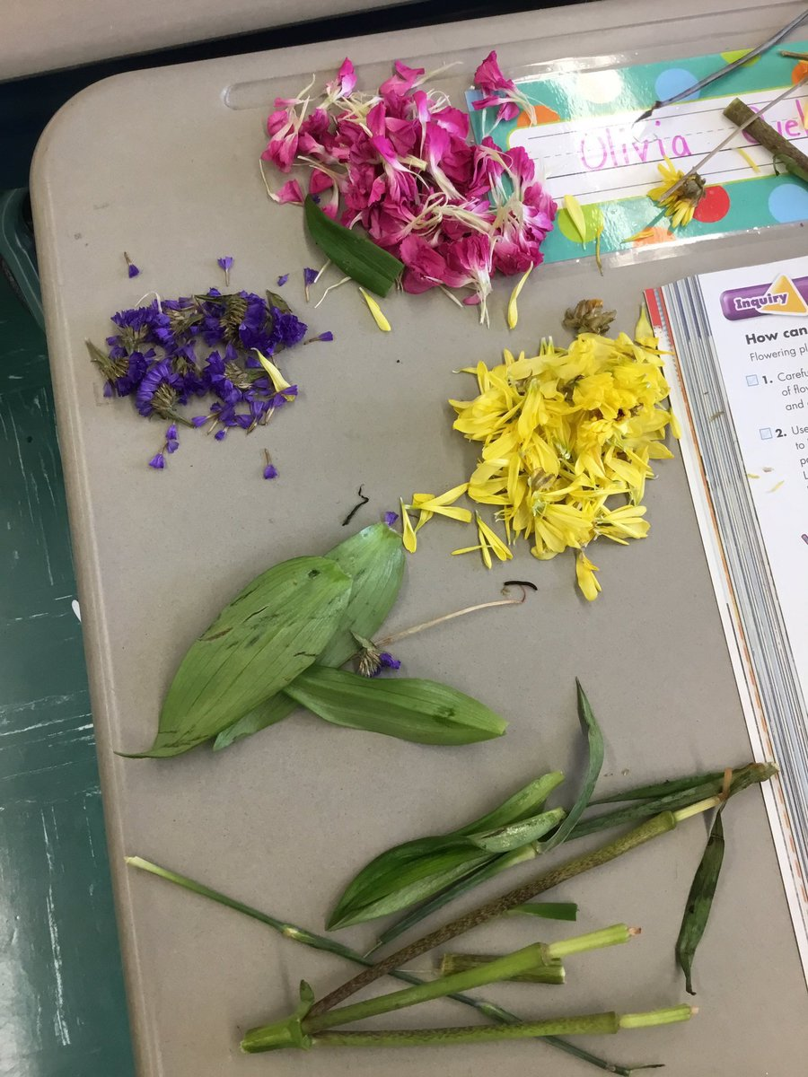 We dissected &amp; classified flower parts today in 4th!!! #JuniorScientists #FourthGrade<br>http://pic.twitter.com/AT0ftomVsT