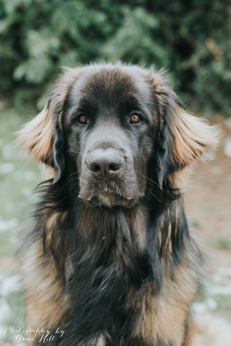 For leonbergers