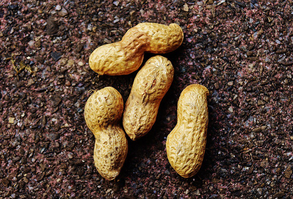 peanut shell fertilizer Peanuts in the shell (think about the brown bag of unshelled peanuts you buy outside fenway park) grow 1-3 inches underground, and are the tip of the roots of the peanut plant  sahara, the peanut basin is becoming weaker and weaker and when the farmers plant corn, they must purchase expensive fertilizer to juice up the soil with nitrogen.
