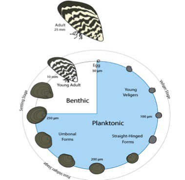 So i mentioned veligers (dreissenid larvae) &amp; this graphic shows their life cycle - adults are sessile &amp; larvae are planktonic #SciParty <br>http://pic.twitter.com/5Wa6PZFE4n