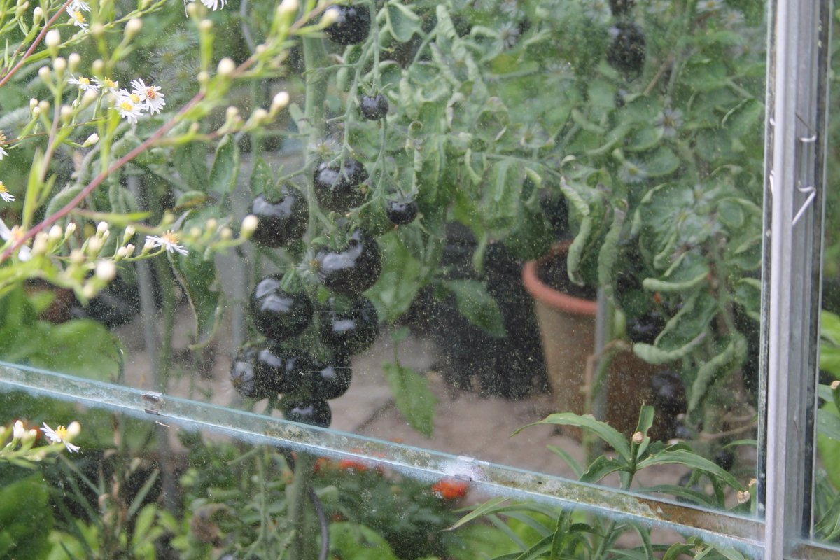 A #secret location growing #black #Tomatoes I wonder what they taste like. #Food #vegetables <br>http://pic.twitter.com/u8b97LoX1T