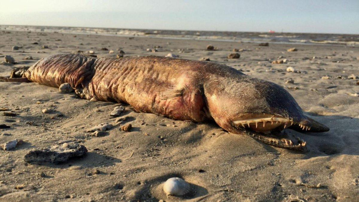 Estranho animal que deu à costa no Texas foi identificado https://t.co/re3RwyYOiY https://t.co/HEbTOxFQEq