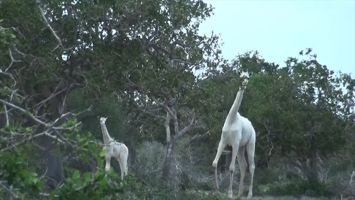 Ghostly rare white giraffes have been spotted in Kenya https://t.co/cDCVUS8GGx