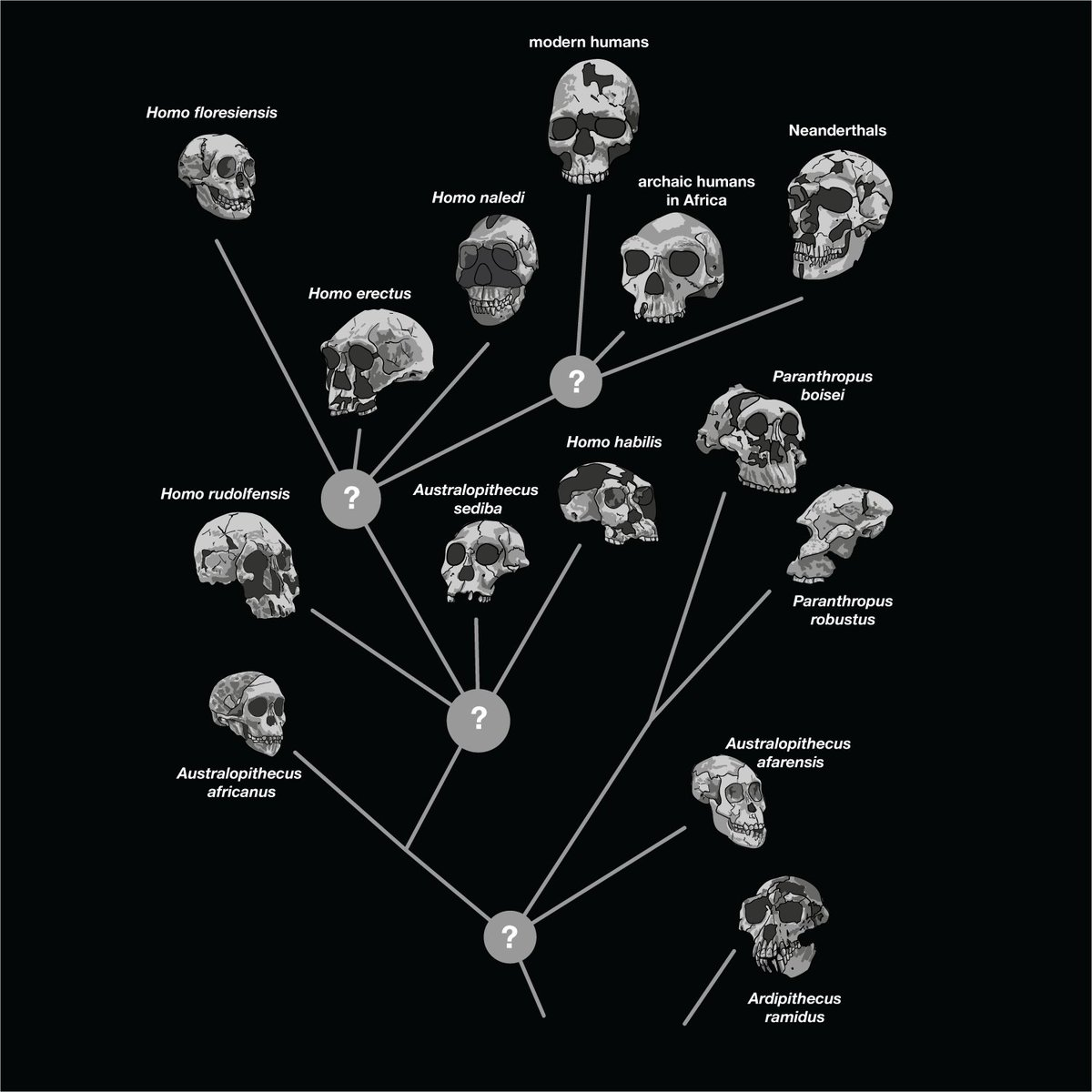How is #Homonaledi related to humans and other hominins? The short answer: We don't know for sure. https://t.co/MAm74Sy2qh