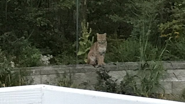 This bobcat was keeping tabs on a woman and her dog in Marlborough! She called it frightening, but awe-inspiring! https://t.co/copY9yVGjd