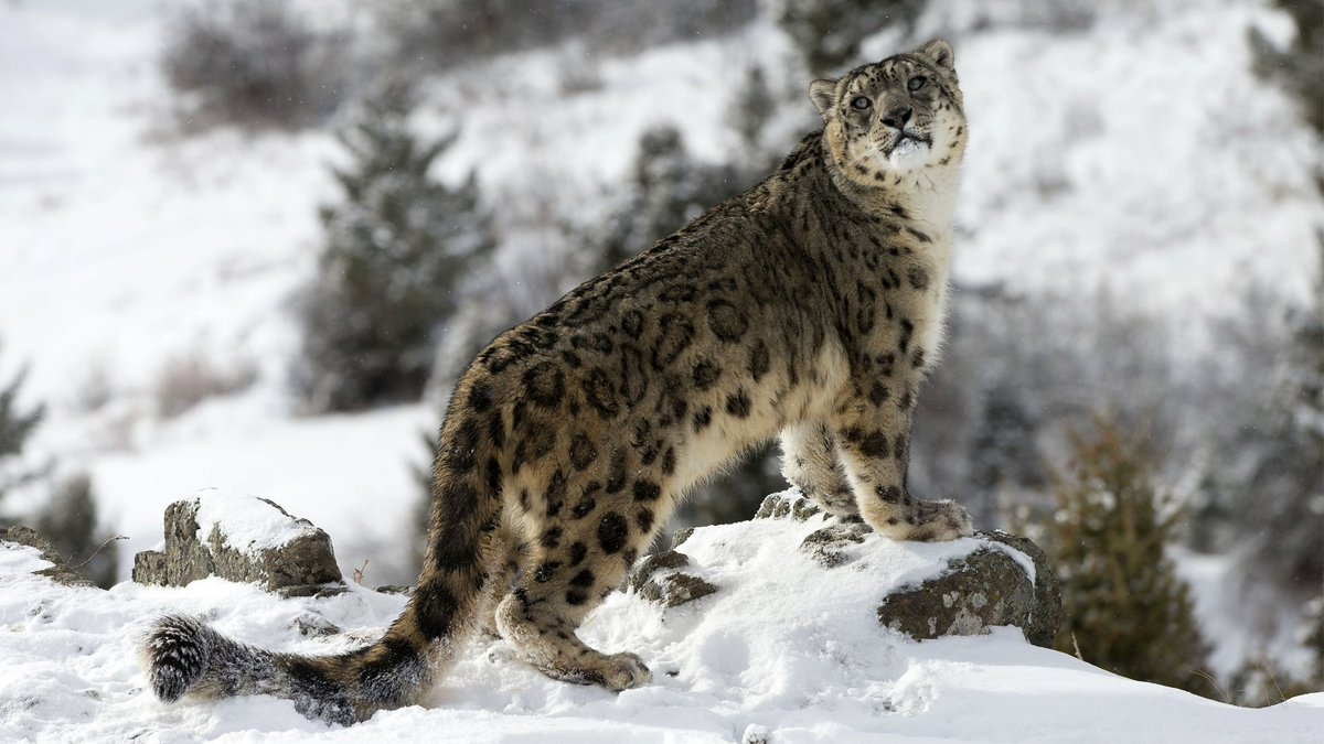 Image result for snow leopards in snow