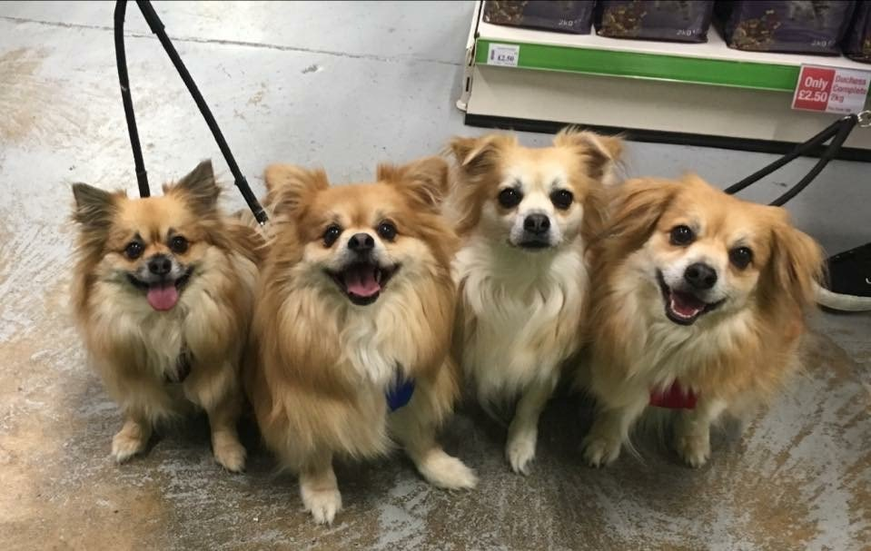 This awesome #Chihuahua Crew comes to visit our #Bletchley store team #dog #puppy #petshop #miltonkeynes<br>http://pic.twitter.com/zufk75RuXu