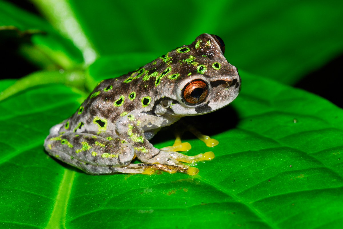 Happy #FrogFriday! Don&#39;t forget to follow the #HARCC facebook page to catch our #frog rescue news &amp; updates!  See:  https://www. facebook.com/HARCC-Honduras -Amphibian-Rescue-and-Conservation-Center-1548827555372298/ &nbsp; … <br>http://pic.twitter.com/50ftbzujpq