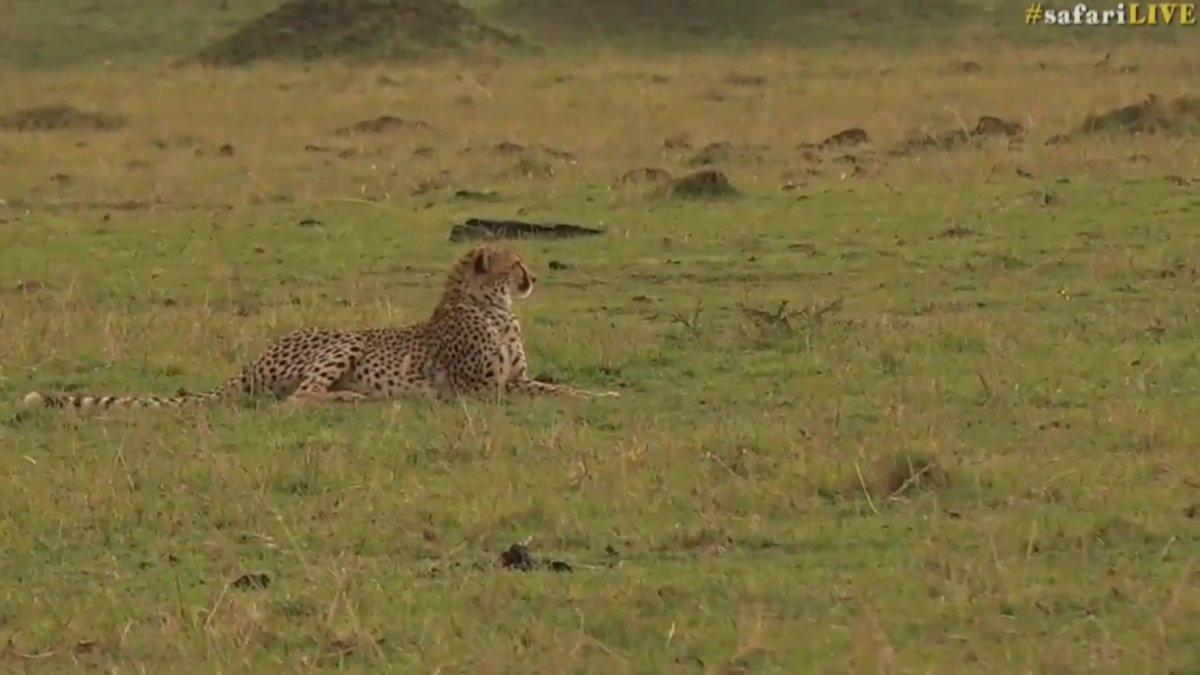 Cheetah love cheetah girls