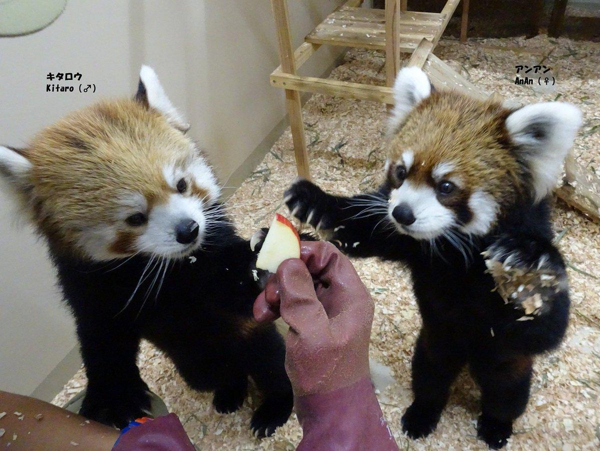 今日は #国際レッサーパンダデー 。レッサーパンダの保護について広めるための日です。 上野動物園では…