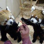 今日は #国際レッサーパンダデー 。レッサーパンダの保護について広めるための日です。上野動物園では2…