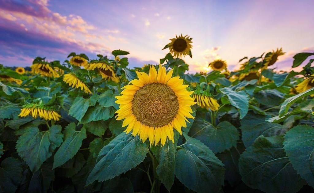 -le tournesol-  #sunflowers #seedsofhope #eauclaire #wisconsin #discoverwisconsin #sunset #flowers #tournesol #eau…  http:// ift.tt/2x9eDJi  &nbsp;  <br>http://pic.twitter.com/Btz3Vqe7NS