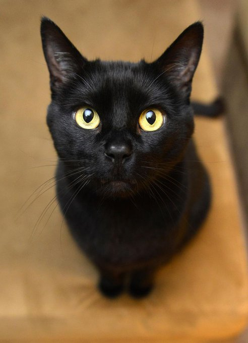猫 画像 cat image ≪ボンベイ≫ アメリカ産の猫。 黒豹を小さくしたような猫を目標とし「バーミーズ」と「アメリカンショートヘア」を交配させて誕生した種です。 とても好奇心が旺盛で遊ぶ事が大好きな子が多いそうです。