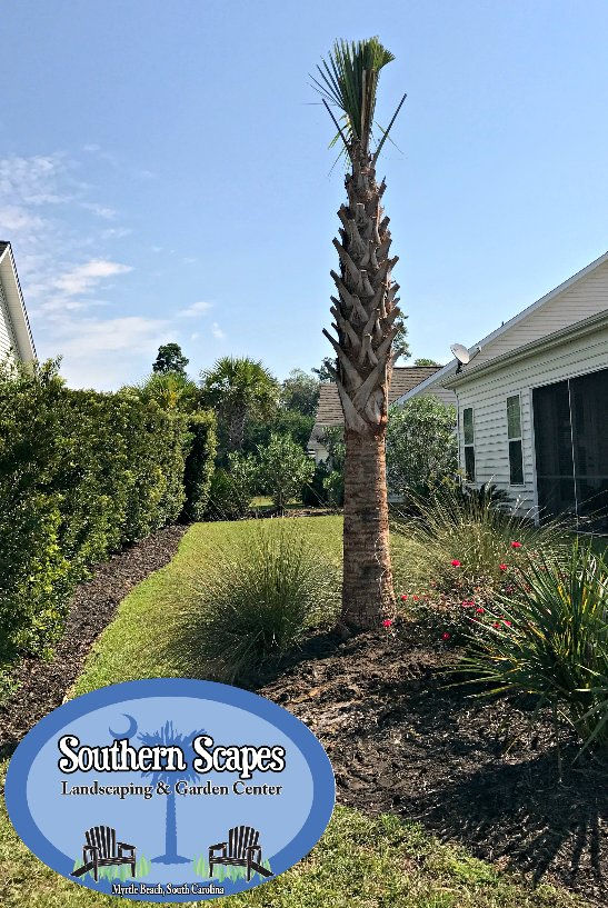 We Have A Fresh Load Of Hurricane Cut Sabal Palms In Stock Come By Our Gardencenter To Pick Yours Landscaping Myrtlebeach Localpic Twitter