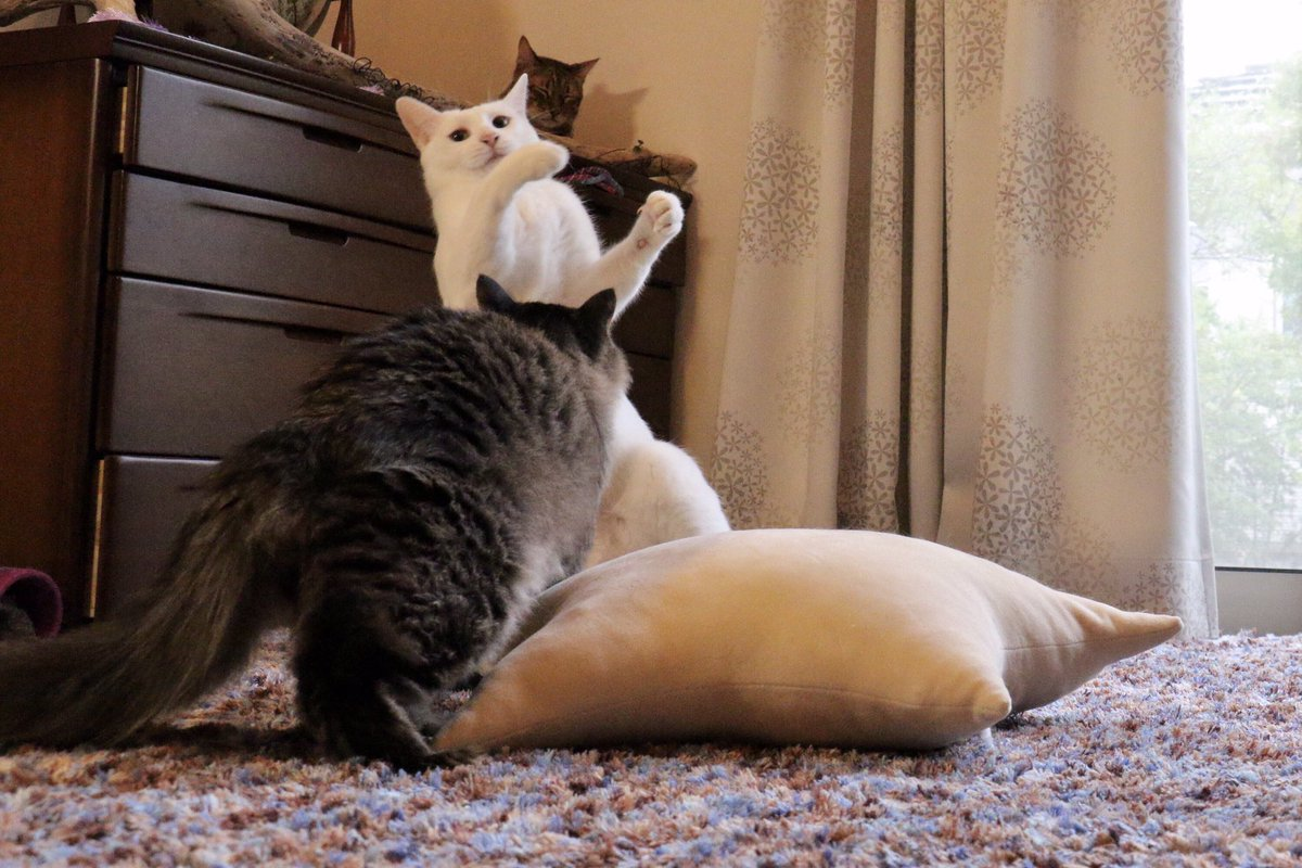 ネルコ。トブコ。ミルコ。  #猫のいる休日