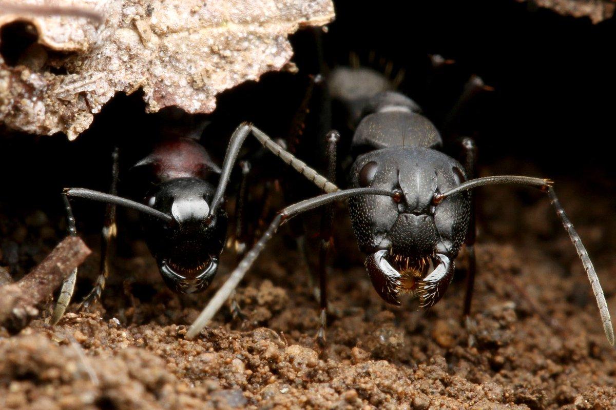 長年撮影したかったツーショットをやっと撮影できました! 右はクロオオアリで左はトゲアリ。 飼育下ではたくさん見てきましたが、野外でこれを見つけるのは大変。
