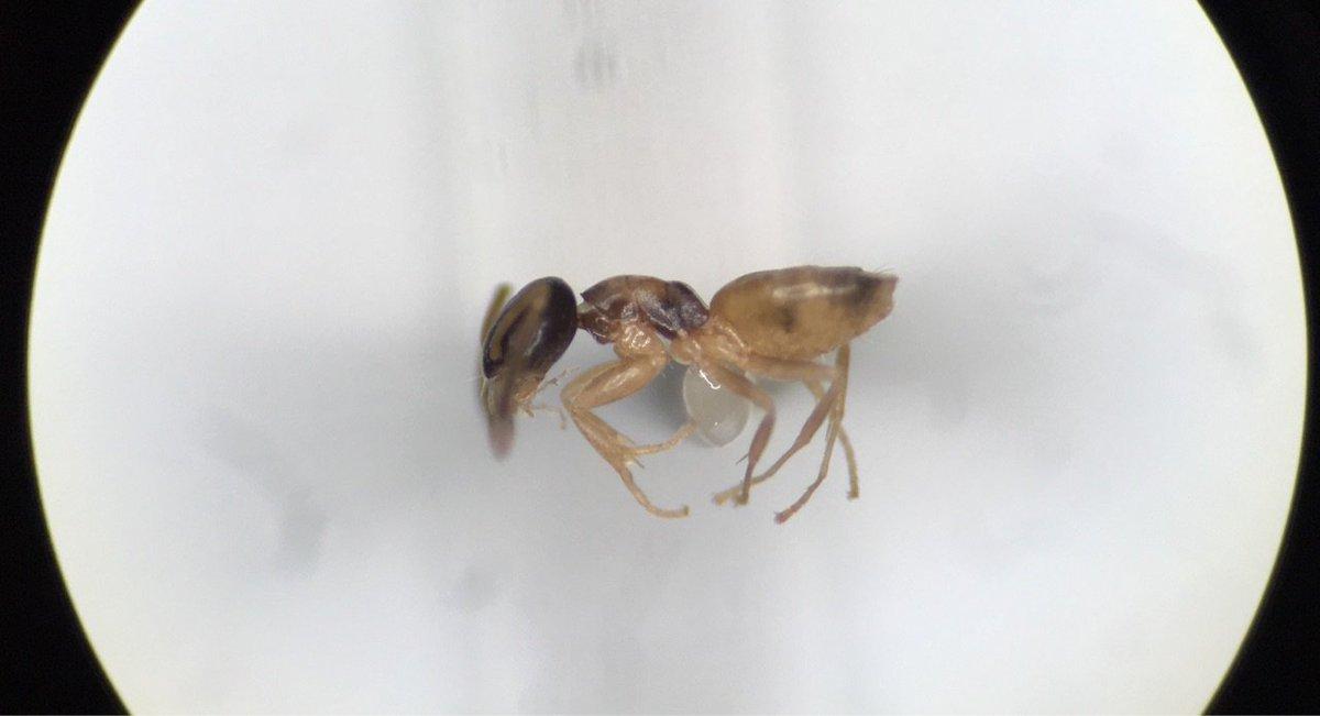 アワテコヌカアリッ!お前の  ことは  絶対に  許さないッ! 微小かつ脆弱で、すぐに腹や付属肢がぺしゃんこになるこいつの標本を、ついに安定してマウントまで持って行く技術が開発され、たのか?