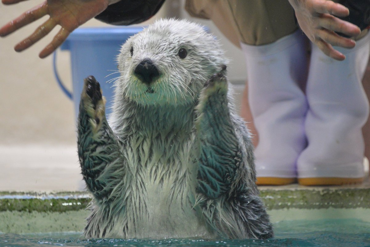【ぺんぺん】メイ「前脚の長さはこれぐらいで、伸ばすとこれぐらいっ!」 #鳥羽水族館 #ラッコ #メイ #前脚の長さをアピールするメイ