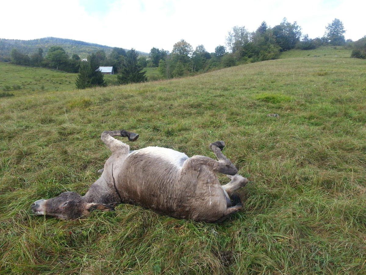 4 ânes tués par un chasseur suisse à Arith en Savoie. Quasiment tout le cheptel d'une jeune entreprise décimé. ➡️https://t.co/GjQORcAB67
