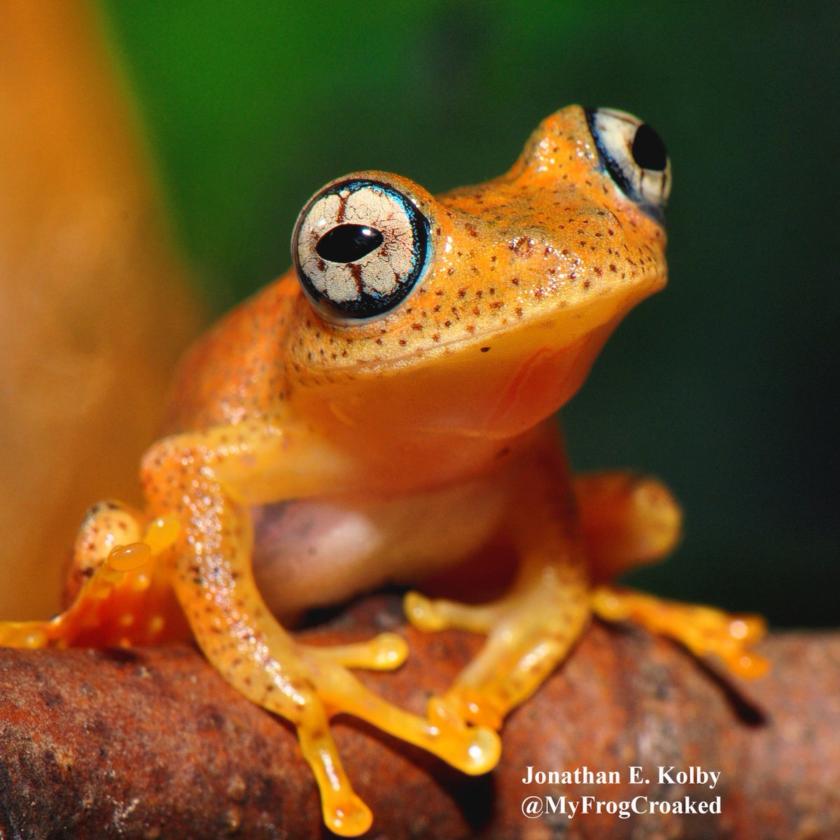 This Bright-eyed Tree #Frog (Boophis pyrrhus) is from the #rainforest of #Madagascar. Check out the blue eye-liner!  https://www. instagram.com/myfrogcroaked/  &nbsp;  <br>http://pic.twitter.com/bkYx5N5LRR