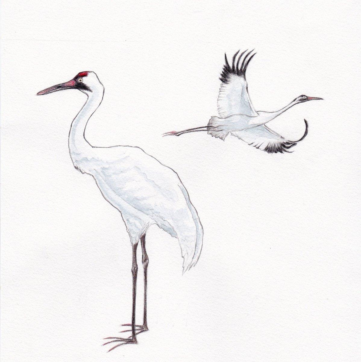 @AnimalAlphabets #Animalalphabets W is for Whooping Crane!  #whoopingcrane #crane #bird #illustration  #pencil #watercolour #watercolor<br>http://pic.twitter.com/PU9erAH77e