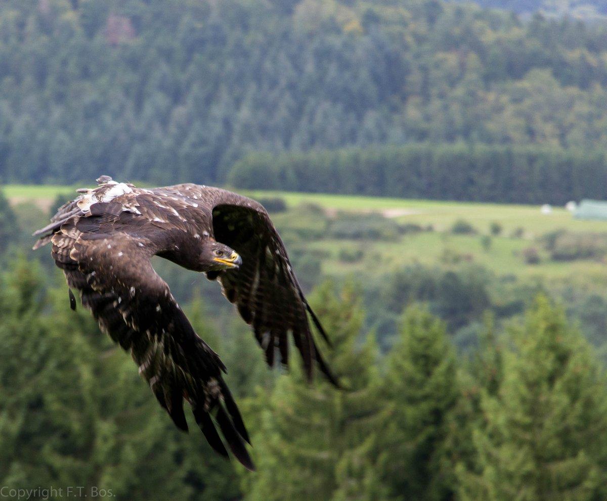 Steppenarend, Steppe Eagle, #birds <br>http://pic.twitter.com/RIWt7j80OE