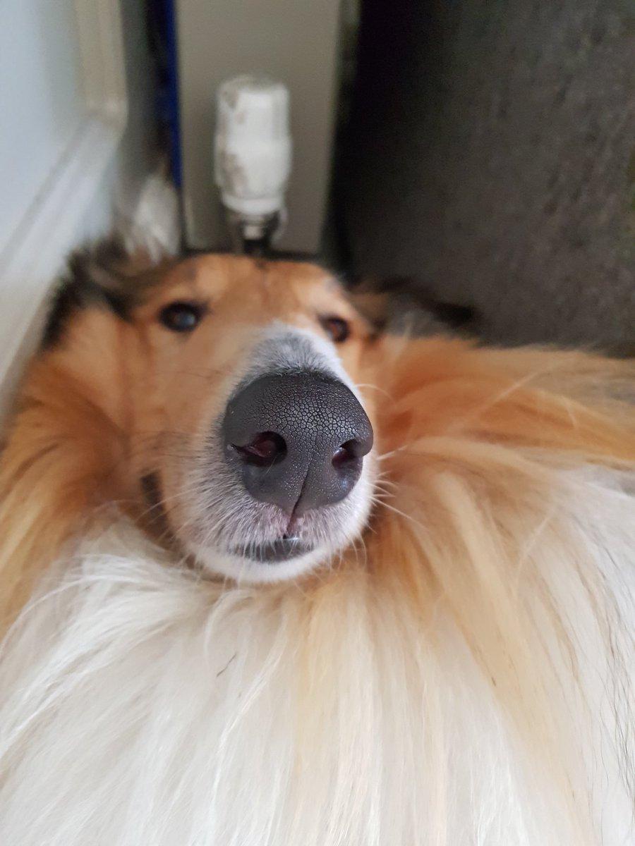 Good afternoon! fellow dogs &amp; hoomans.#dogs #doggo #dogfriends #doglover  #roughcollie #MondayBlues #mondayselfie #dogsoftwitter #laddie<br>http://pic.twitter.com/afKtIykq9H