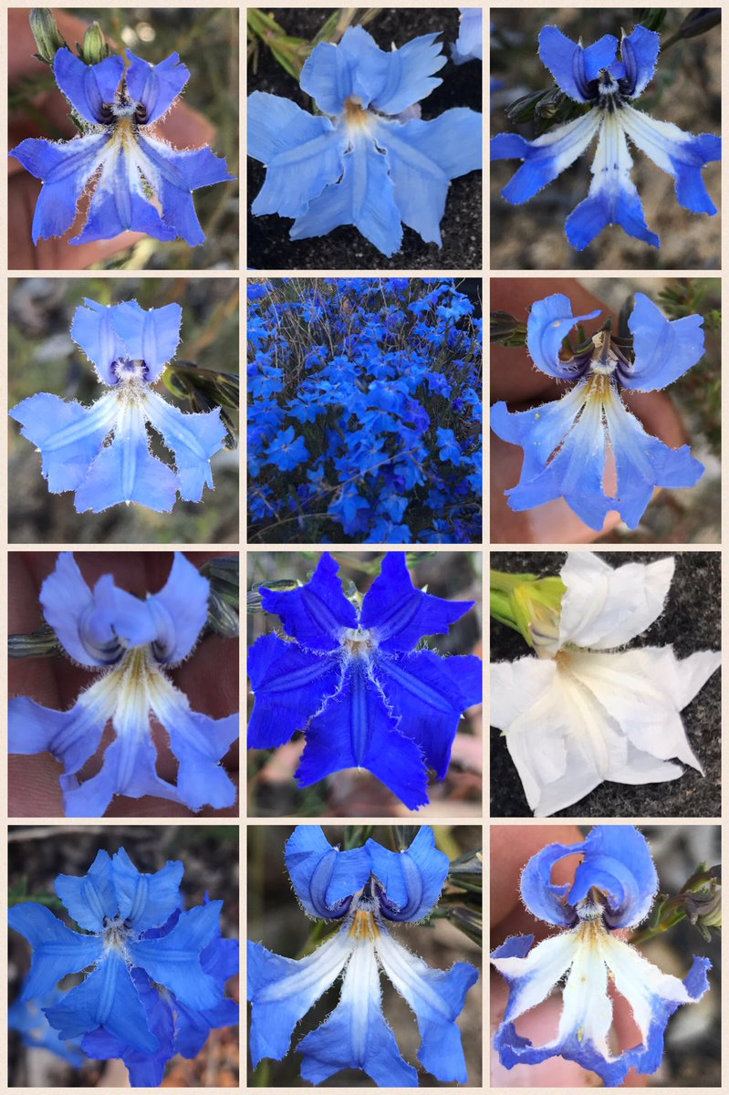 Lechenaultia biloba is subtly variable but never boring! Possibly my favourite #blueflower. Which is yours? #Goodeniaceae #westernAustralia <br>http://pic.twitter.com/liI0u93XHR