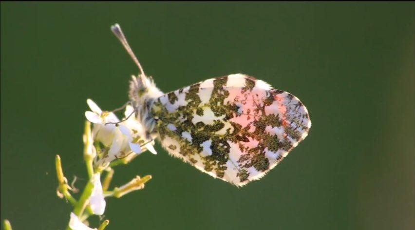 Want to attract more #butterflies to your #garden? Watch this to see how to attract the beautiful Orange tip  https:// youtu.be/pzJZ4NnJ71c  &nbsp;  <br>http://pic.twitter.com/gfBCFS2uUE