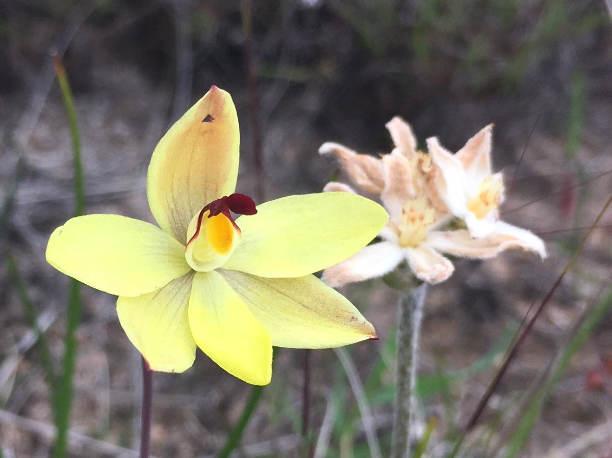 Lemon-scented, rabbit-eared or vanilla sun orchid, Thelymitra antennifera, native to WA, SA, Vic &amp; Tas #Orchidaceae #Orchid #itsmellsnice<br>http://pic.twitter.com/6jr2CJiCGC