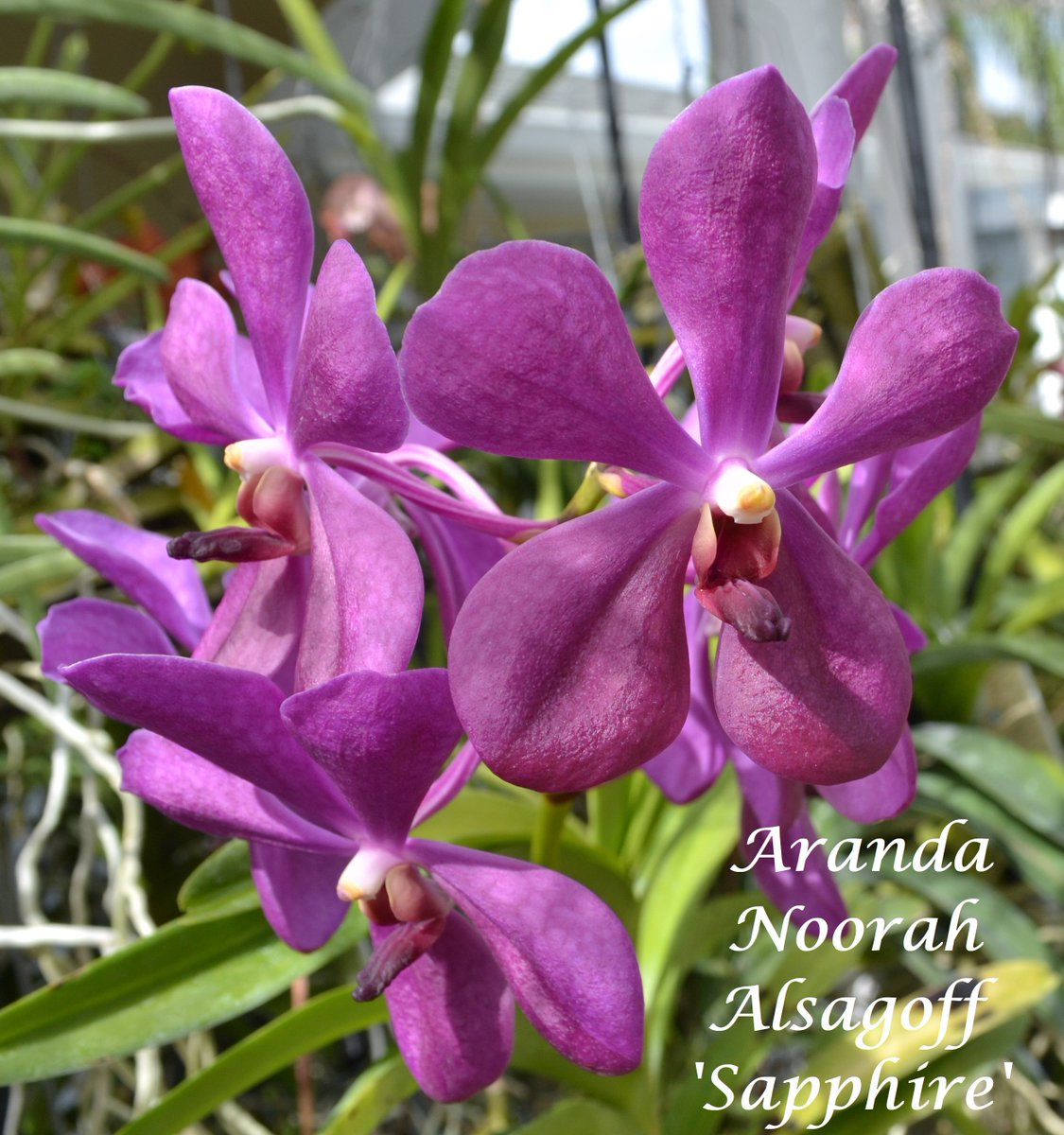 I am partial to the Aranda flower shape and the lovely array of colors they come in. #vanda, #orchids, #aranda, #flowers<br>http://pic.twitter.com/35FI0nu2Dj