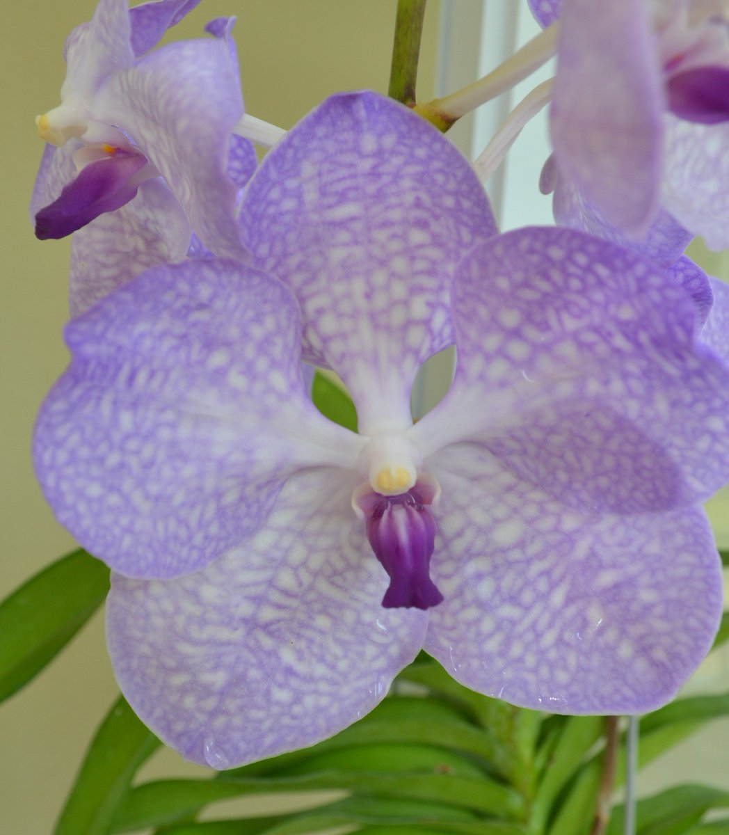 The lilac petals and deep purple lip made the lack of tag a non issue. #orchids, #vanda, #flowers<br>http://pic.twitter.com/IffvYmc0Jh