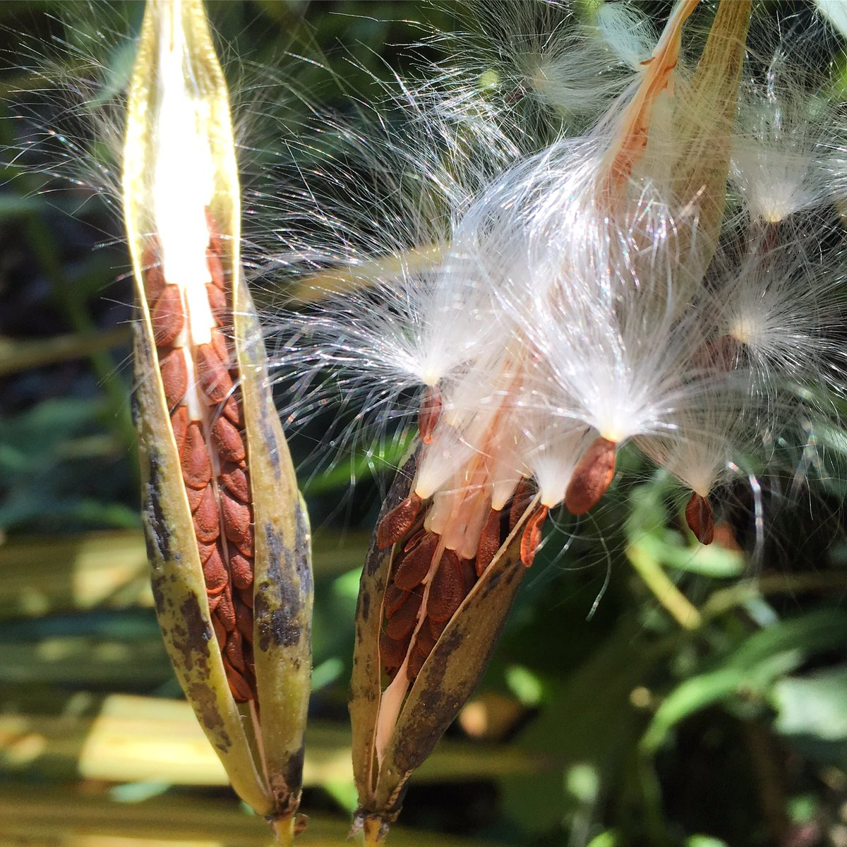 Newly opened milkweed seedpods. Tidily ordered for a disordered dispersal. #gardenchat <br>http://pic.twitter.com/2kPRKkDvjm
