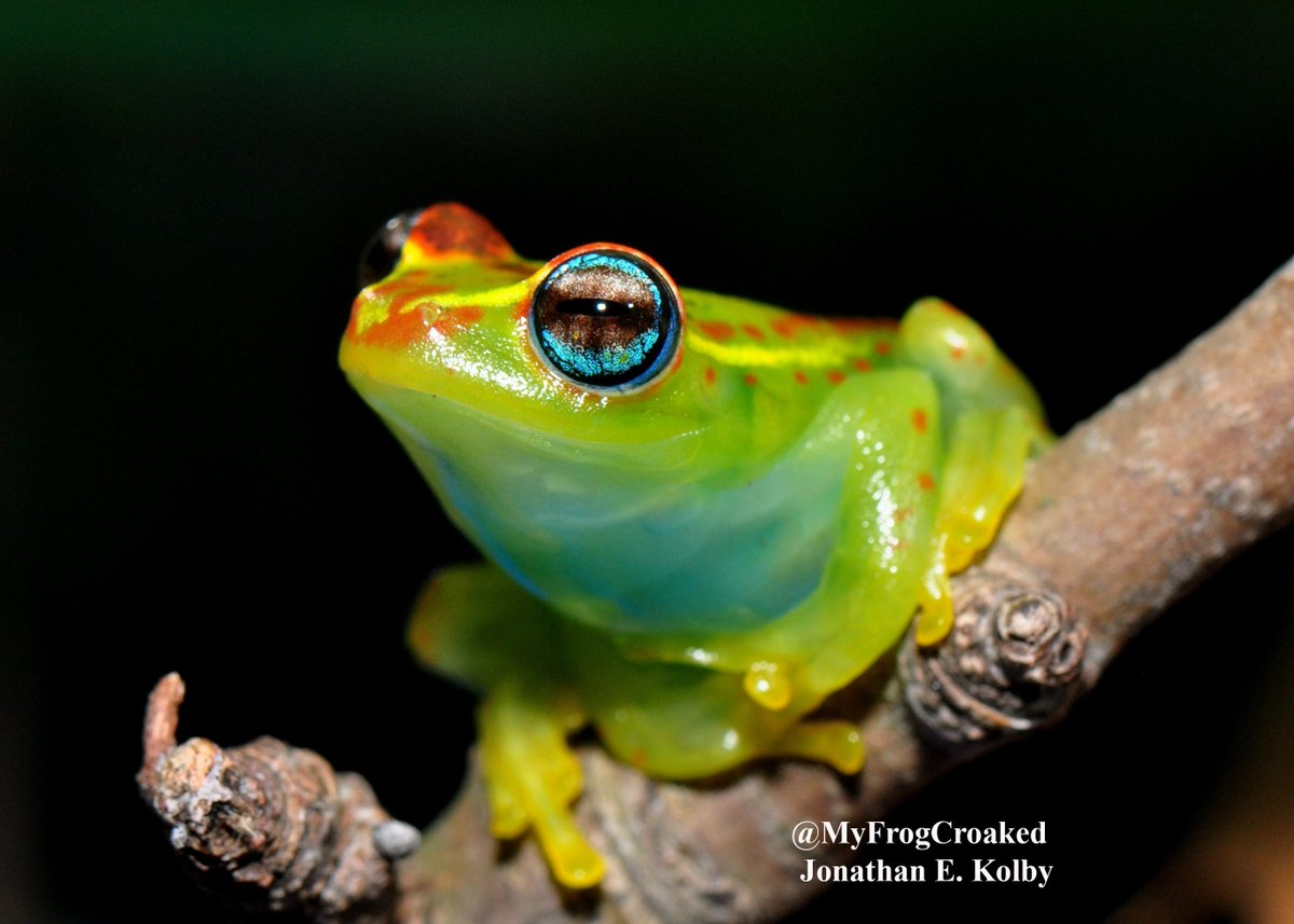 Selling art to save #frogs! Available prints, #coffee mugs, coasters, cards &amp; more! Visit:  https:// jonathankolbyphotography.smugmug.com / &nbsp;   #becurious #birds #snakes <br>http://pic.twitter.com/8YRp1LeVYK