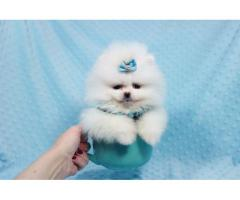 For maltese puppies for sale free