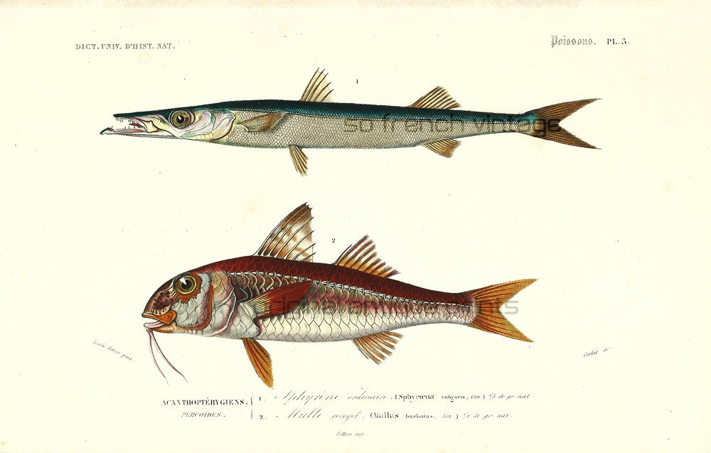 1861 Red Mullet, barracuda, Original Antique Print Hand col…  http:// tuppu.net/636800bd  &nbsp;   #sofrenchvintage #MarineBiology <br>http://pic.twitter.com/YEQMwjyy3V
