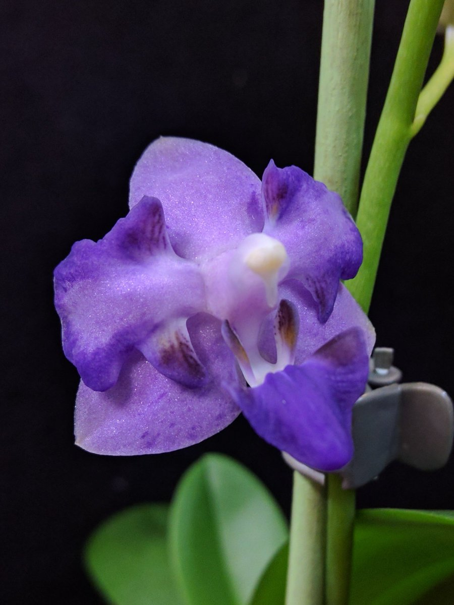 #phalaenopsis blue jay #orchid and yes, it really is that colour. <br>http://pic.twitter.com/69li66Zfca