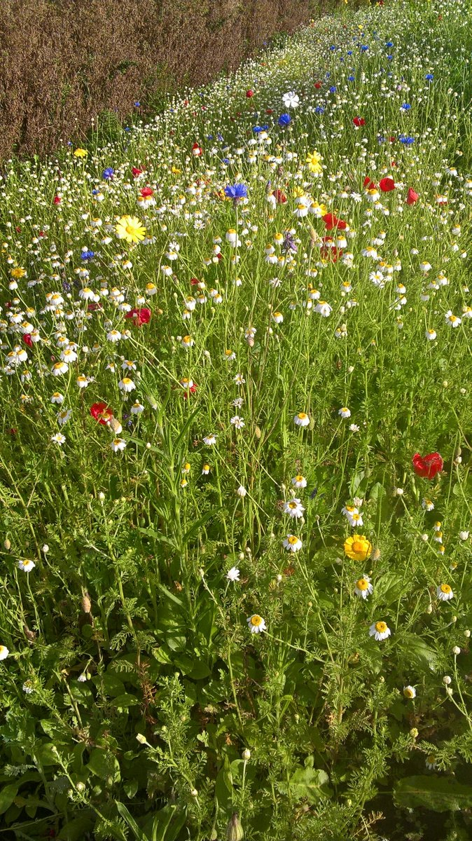 What a #woldclass place Easingwold is, when we have Millfields and #wildflowers in the centre of town! <br>http://pic.twitter.com/oAWTw8ccNu