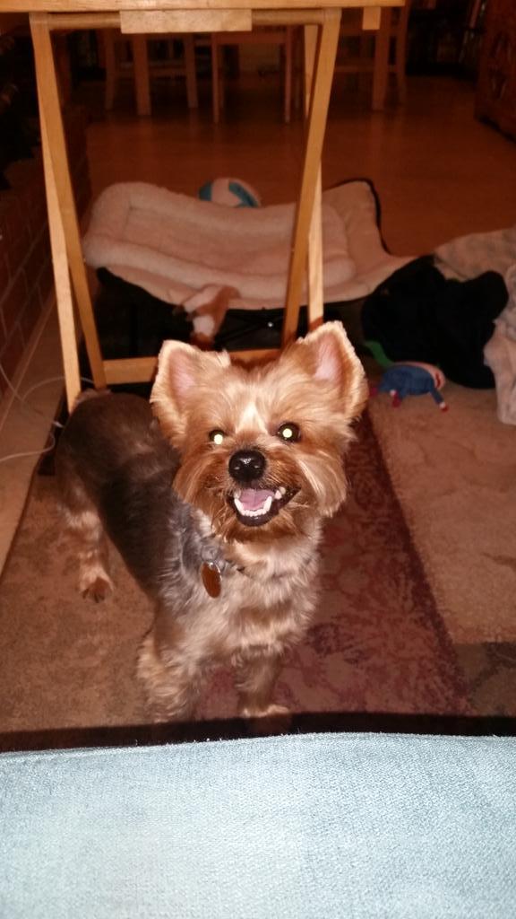 Happy #puppy. #puppylove #yorkie #dogsoftwitter #dog #Stryker #yorkshireterrier #yorki<br>http://pic.twitter.com/CnFjIwkzxZ