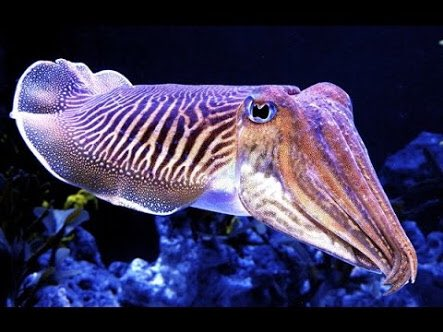 This week&#39;s #ScienceSunday: Genome facial ID, nanodrills &amp; Zika for cancer, &amp; the colourful secrets of cuttlefish.  http://www. abc.net.au/radio/programs /nightlife/nightlife/8890706 &nbsp; … <br>http://pic.twitter.com/b49LGfFgWu