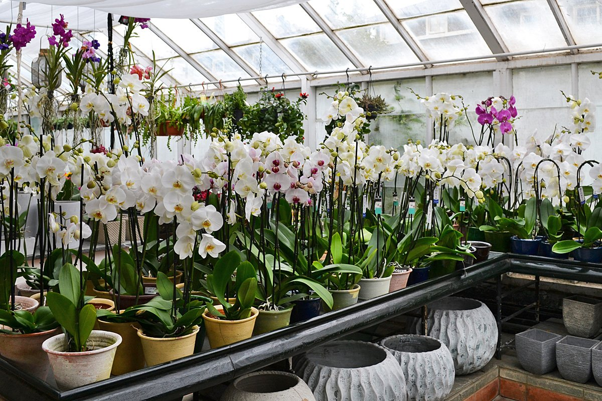 Lots of lovely white orchids - ideal for gifts for Rosh Hashanah, the Jewish New Year. #jewishnewyear #roshhashanah  #orchids <br>http://pic.twitter.com/RWTbxrUkfC
