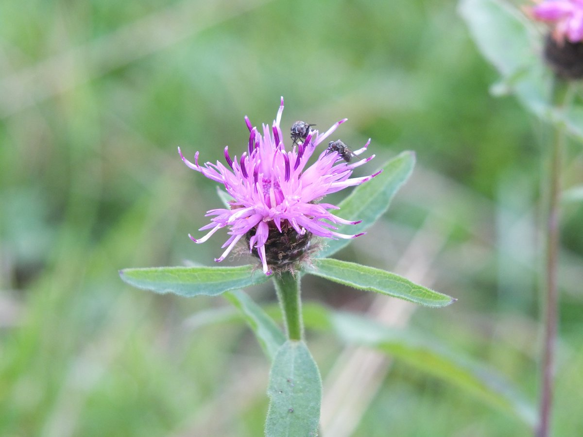 Knapweed in flower on the smallholding #wildflowers #peakdistrict<br>http://pic.twitter.com/eWm3PZnLOF