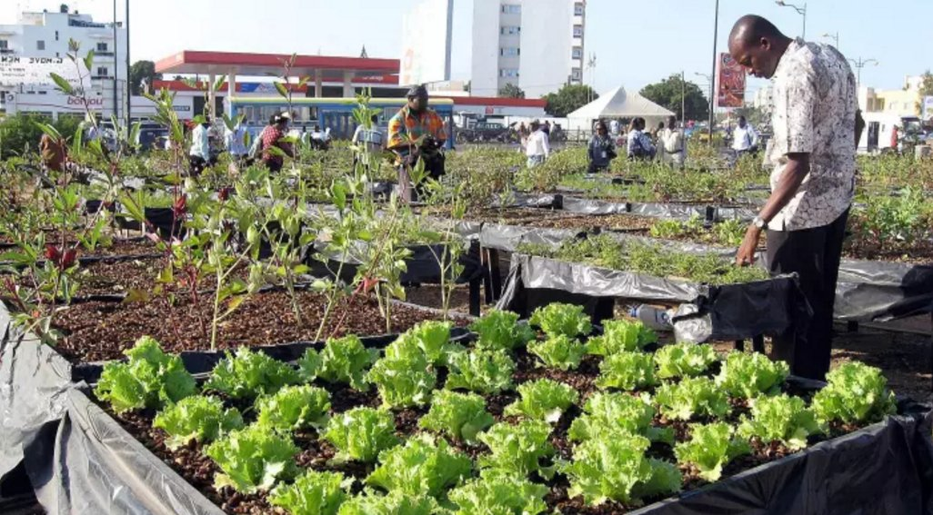 Micro-gardening and urban #farming initiatives are making impact in #Senegal &gt;  http:// bit.ly/2wLSrpa  &nbsp;   @Spore_mag<br>http://pic.twitter.com/82MScK6weW