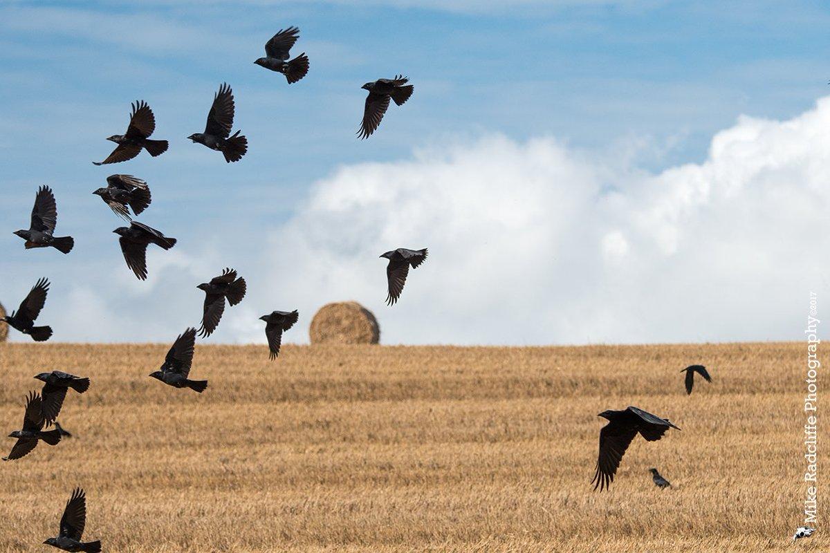 'The Birds' Corvids in flight Ballaoates, Isle of Man #thebirds #isleo...