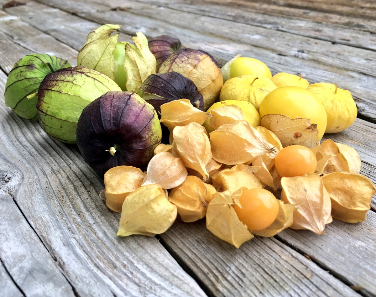 Harvesting tomato cousins before the rain: tomatillos and ground cherries. #halifax #gardenchat <br>http://pic.twitter.com/ghGDnXsKRL