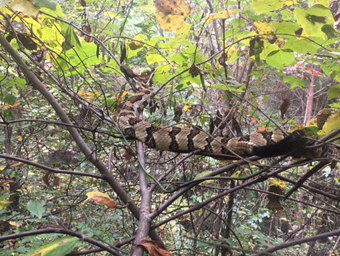 Most of you probably spotted him, but here is #Ishmael ~12ft up in a tree! He is not a small snake either #scicomm<br>http://pic.twitter.com/EvXAQ3QV5R