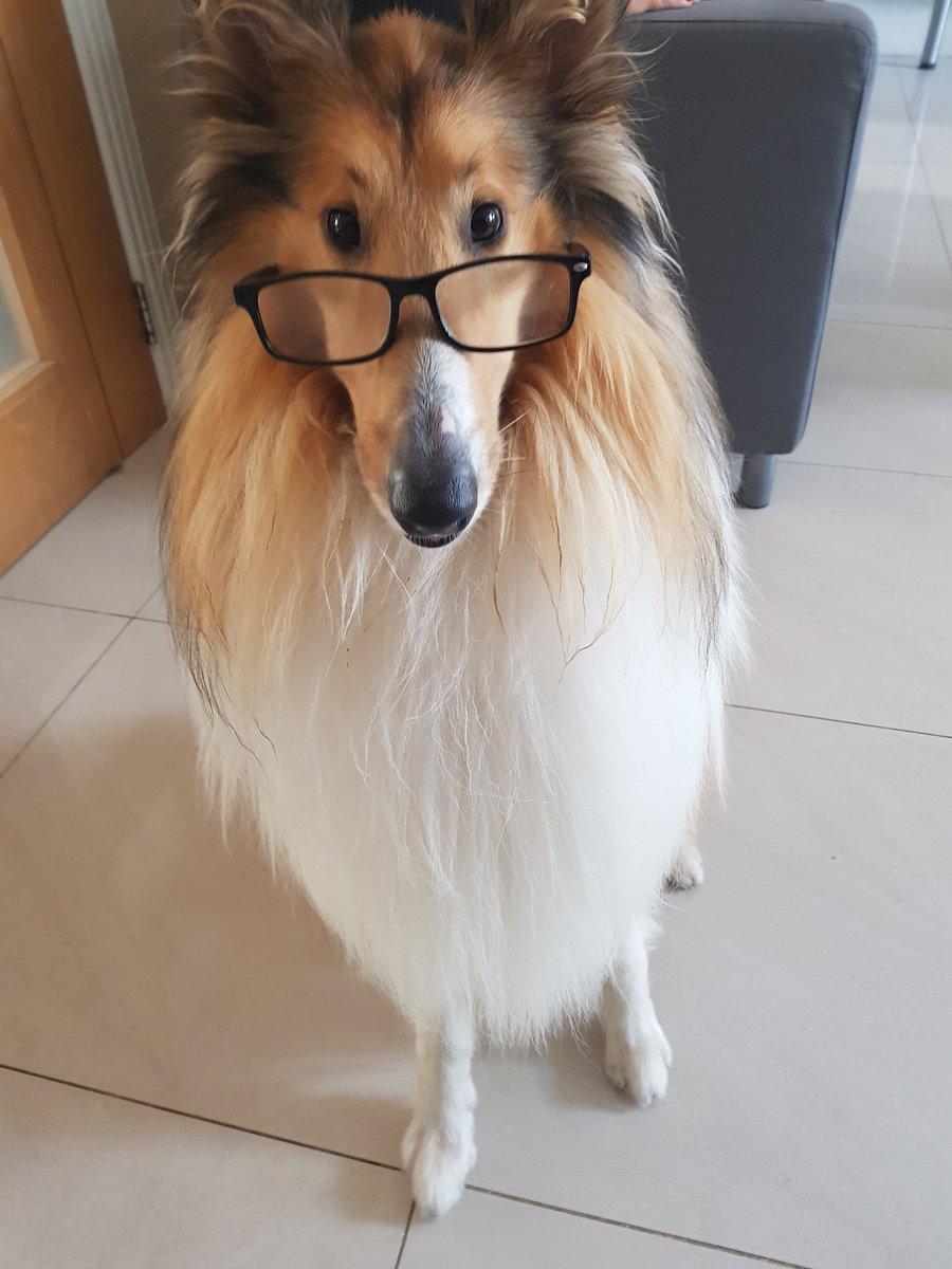 Proffesser Laddie will see you now... #dogs #proffesserladdie #smartdog #dogsoftwitter #doggo #dogfriends #doglover #collie #roughcollie<br>http://pic.twitter.com/8YMYMyp5Fz